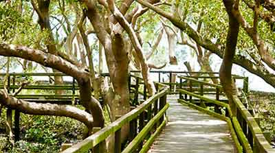 WynnumMangroveBoardwalk